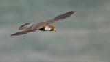 Peregrine in Flight