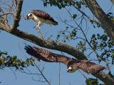 Ospreys in Flight 14