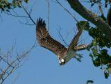 Osprey in Flight 15