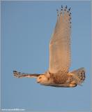 Snowy Owl in Flight 23