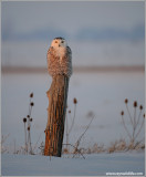 Snowy Owl 28