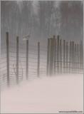 Snowy Owl on the Fence 34