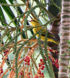 Black-naped Oriole (immature)