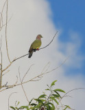 Pink-necked Green Pigeon
