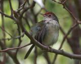 Common Tailor-bird