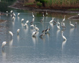 Grey Herons and Great Egrets