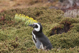 Magellanic Penguin in Diddle-dee