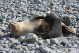 Pup Fur Seal feeding