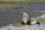 Adult bull Fur Seal