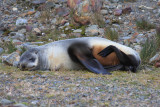 A relaxed female Fur Seal