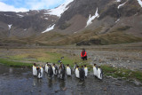 King Penguins by the creek