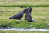 Two juvenile Fur Seals, mock fighting