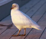 Pale-faced Sheathbill, possibly juvenile