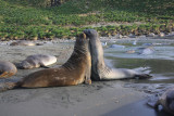 Southern Elephant Seals, young males