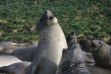 Elephant Seals, male juveniles