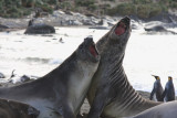 Elephant Seals, young males, mock fighting
