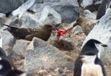 Subantarctic Skuas tear apart a Chinstrap chick