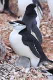 Chinstrap with two chicks
