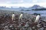 Adelie & other penguins