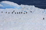 Wait for me! - Gentoo Penguins on iceberg