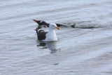 Kelp Gull and swimming Gentoo