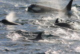 Killer Whales Sequence