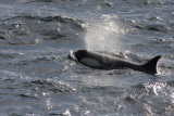 Killer Whale (or Orca), female