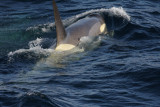 Killer Whale (or Orca), male