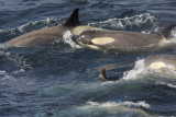Killer Whale (or Orca), females and juveniles
