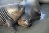 Elephant seals, young females