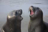 Toothless Elephant Seal pups