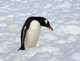Gentoo: This snow looks deep...