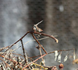 Blue Wren, female