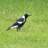 Australian Magpie with young lizard...going