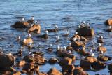 Crested Terns, Yalingup Beach