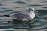 Mouette tridactyle, Rissa tridactyla