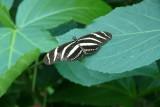 Zebra Longwing, Butterfly Conservatory, Niagara Falls, Canada