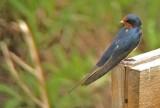 Barn Swallow - looking back