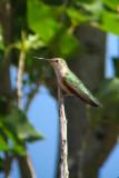 Broad-tailed Hummingbird perch