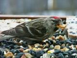 Common Redpoll peanut