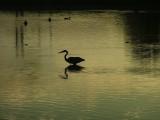 Great Blue Heron pond