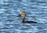 Horned Grebe and Double-crested Cormorant