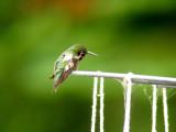 Ruby-throated Hummingbird scratch on head
