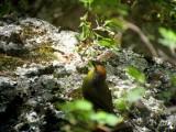 Rufous-capped Brushfinch
