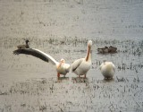 pelican with a question
