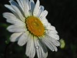 Daisy with dew