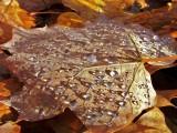 Dew Leaf1