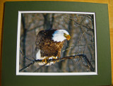 Bald Eagle (matted print)