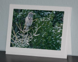 Great Gray Owl (card)