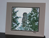 Great Gray Owl  (matted print)